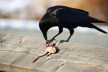A Crow Eating A Frozen Frog While Perched On A Fence Railing
