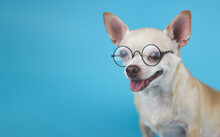 Brown Short Hair Chihuahua Dog Wearing Eye Glasses,  Sitting  Blue Background With Copy Space, Smiling And Looking At Camera. Intelligent Pet Concept.