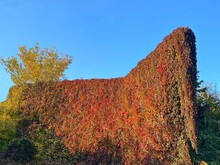 Autumn Bright Red Green Leaves Of Wild Wine Parthenocissus Which Covering A Wall Of Abandoned Old House. Yellow Leaves Tree Swaying On Wind Against Sunny Blue Sky. Boston Ivy Plant. Virginia Creeper.