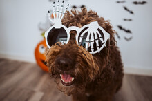 Scary Spanish Water Dog In Halloween Costume At Home. October Holidays