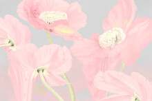 Floral Background Vector, Pink Poppy Psychedelic Art