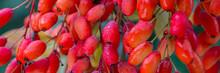 Red Berberis Vulgaris Fruits On Branch In Autumn Garden, Close Up, Macro. Red Ripe  European Barberry Berries Ready For Harvesting.