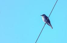 Pequeño Papamoscas Posado Sobre Un Cable Listo Para Cazaar