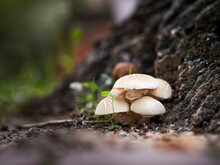 Two Mushrooms Grow At The Base Of A Poplar Tree