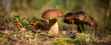 Edible Porcini Mushroom In A Forest Glade Close-up Under The Light Of Sunlight With Beautiful Bokeh