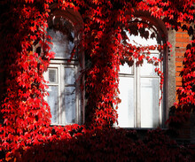 Kaliningrad, Russia. 05.10.2021. Autumn In Koenigsberg. The Old House Is Wrapped In Decorative Ivy. Windows