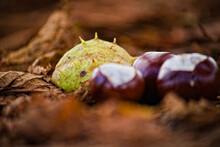 Jesienne Owoce Kasztanowca (Aesculus Hippocastanum L.) - Kasztany . Autumn Chestnut Fruit (Aesculus Hippocastanum L.) - Chestnuts.