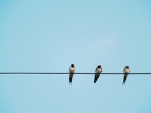 Flock Of Little Birds On The Telephone Line Against The Blue Sky. Remote Photo Focus On The Birds On The Phone Line.