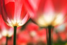 咲き誇るチューリップ