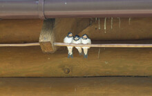 Three Flying Out Swallow Chicks On A Wire Under The Roof Of A Wooden Village House