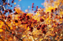 Autumn Natural Background With Yellow And Leaves And Red Berries In Sunlight. Banner Colorful Leaves In Fall Season