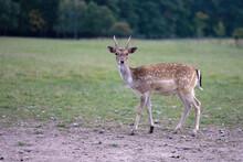 Fallow Deer Graze In A Meadow Near The Forest.
