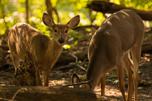 Two Female White Tailed Deer Foraging In The Woods On A Sunny Summer Day.