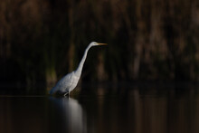 Great Egret (Ardea Alba) Bird Stand In Wetland Natural Habitat
