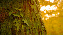 CLOSE UP: Shot Of Moss And Ivy Covered Tree In Woods Changing Colors In Autumn.