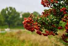 Firethorns Ripening In The Park