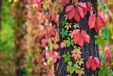 Parthenocissus Quinquefolia (Virginia Creeper) In Autumn Colors Climbing A Tree Trunk