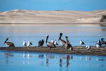 Cormorants Birds On Sand Bar In Magdalena Bay