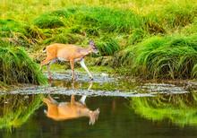 A Deer Visits A Creek In A Green Meadow In Alaska.