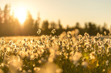 Cottongrass In A Meadow In Glacier Bay National Park At Sunset