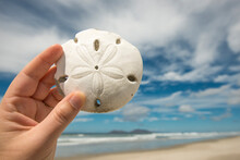 A Woman's Hand Holds A Sand Dollar With Beach In Background