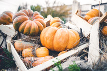 Large Bright Orange Pumpkins As Sale Decoration In A Wooden Crate. Halloween Event Celebration And Festive Food Carving Activity Outdoors At A Farm