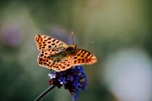 Shallow Focus Shot Of An Argynnis Butterfly Sitting On A Verbena Flower.