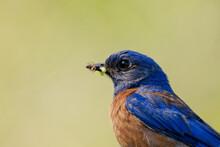 Close-up Shot Of A Western Bluebird In Profile.