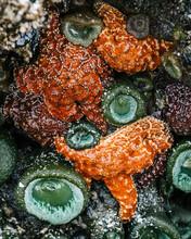 Tidal Pool Starfish