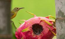 Sun Bird Eating Dragon Fruit After Larger Birds Peck Through Thick Skin Of Fruit