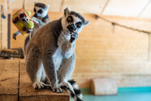 Portrait Of A Funny Ring-tailed Lemur In The Zoo