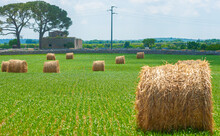 Bales Of Hay In The Fields Apulia In Summer Time Harvest