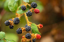 Bouquet Of Wild Blackberries With Blurred Green Background
