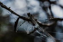 Webbed Mantis