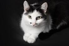 Black White Cat Sit On Dark Background.