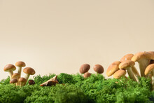 Honey Mushrooms In Forest Moss. Concept Pick Mushrooms. Copy Space. Close Up.