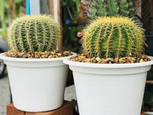 Planting Echinocactus Grusonii Or Golden Barrel Cactus Or Golden Ball Cactus Or Mother-in-law's Cushion In Thailand.