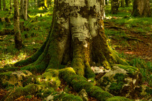 The Base Of The Tree And The Roots Are Covered With Green Moss, A Dark Dense Forest.