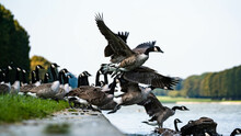 Canadian Wild Gooses Landing In Water