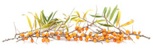 Branches Of Sea Buckthorn With Berries And Leaves Isolated On White Background.