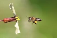 Bee In Flight, Flying Towards A White Flower Carrying Pollen. Apis Mellifera AKA Western Honey Bee