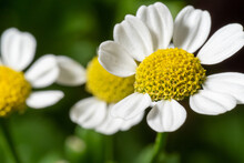 Chamomile Close-up With Embossed Petals
