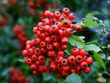 Clusters Of Red Berrires On  Firethorn-Pyrocantha Coccinea Bush At Autumn