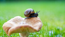 A Snail On A Mushroom In The Morning With Dew On The Green Grass