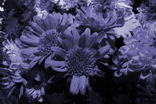 Close-up Of A Bouquet Of Gerberas In Lilac And Blue Tones.