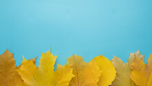 Yellow Autumn Maple Leaves On A Blue Background, Copy Space.