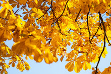 Branches And Yellow Chestnut Leaves Against The Blue Sky In Autumn