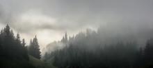Dense Pine Forest In Morning Mist. Foggy Pine Forest.