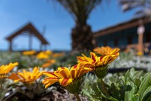 Beautiful Gazania Flowers In The Foreground