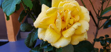 Closeup Of A Yellow Garden Rose Covered In Raindrops With A Blurry Background